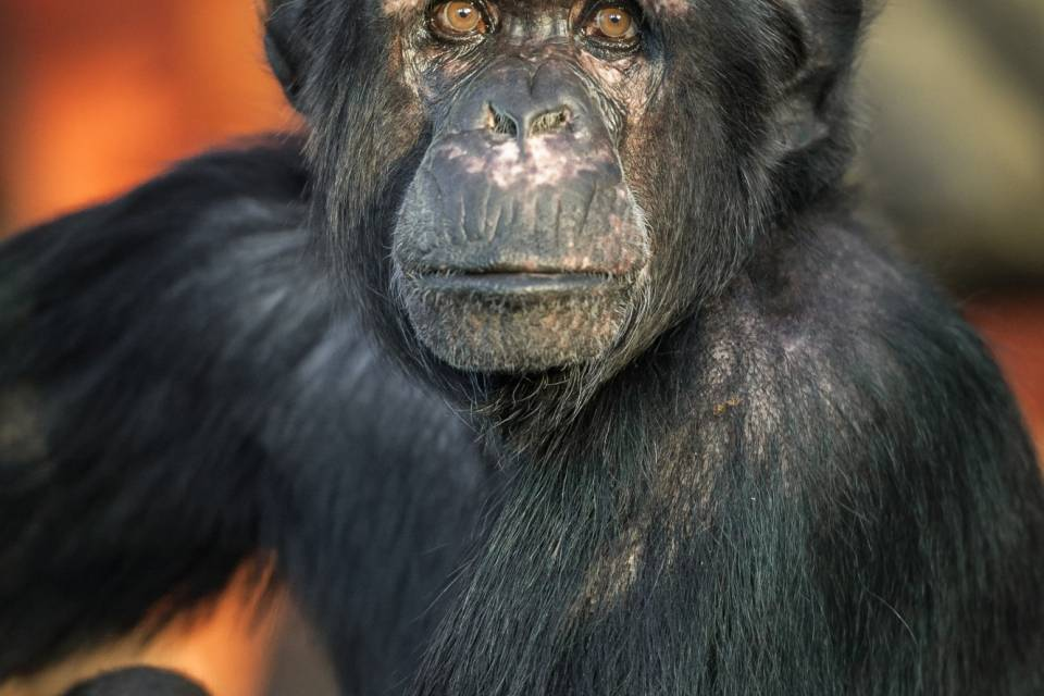 Chimpansees in ZOO Antwerpen / Jonas Verhulst