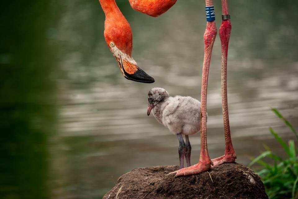 Cubaanse flamingo - ZOO Antwerpen - Jonas Verhulst