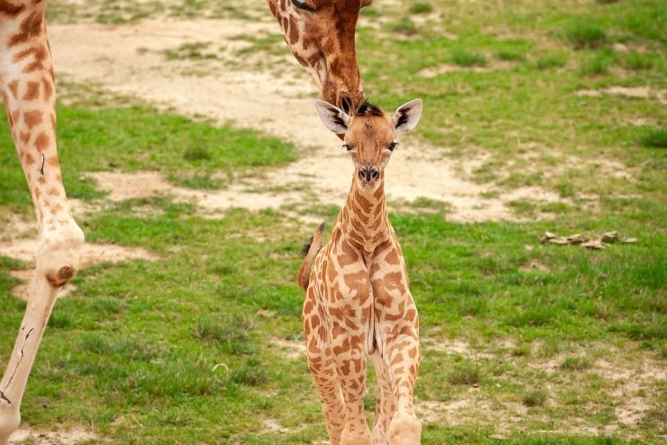 Giraf Twiga - ZOO Planckendael - Jonas Verhulst