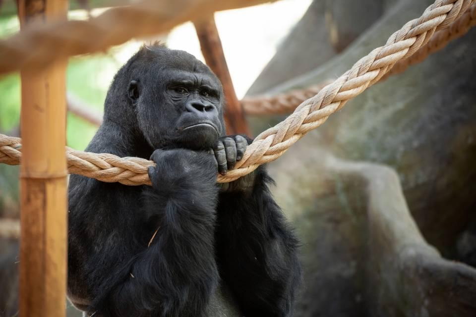 Gorilla Matadi - ZOO Antwerpen - Jonas Verhulst