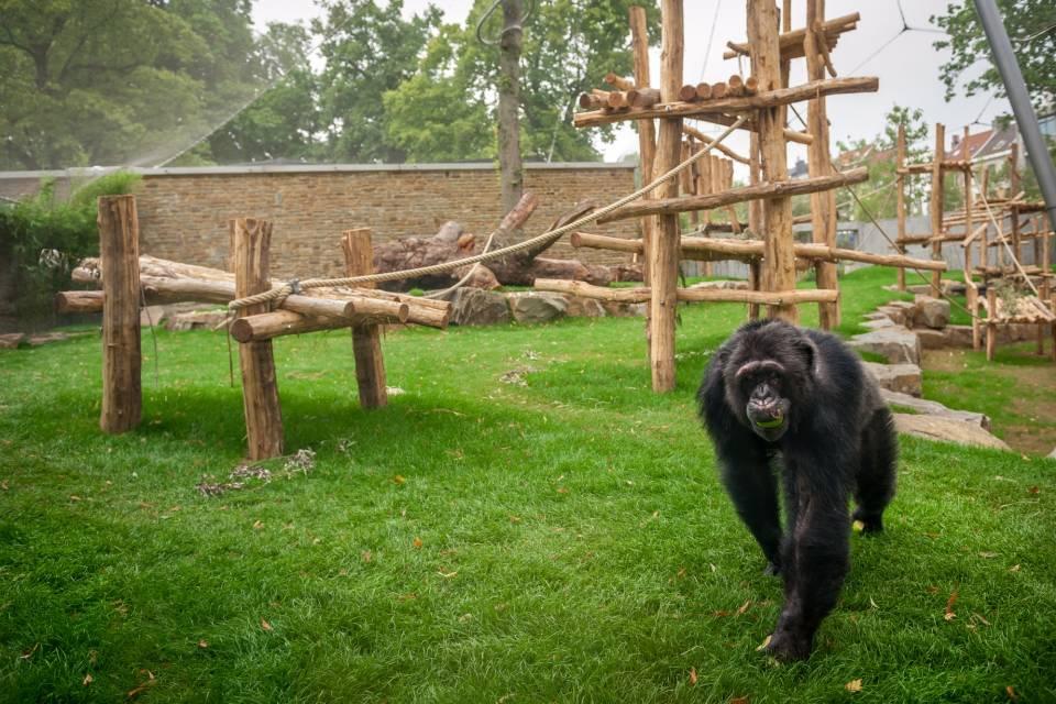 Chimpansees in ZOO Antwerpen / Jonas Verhulst