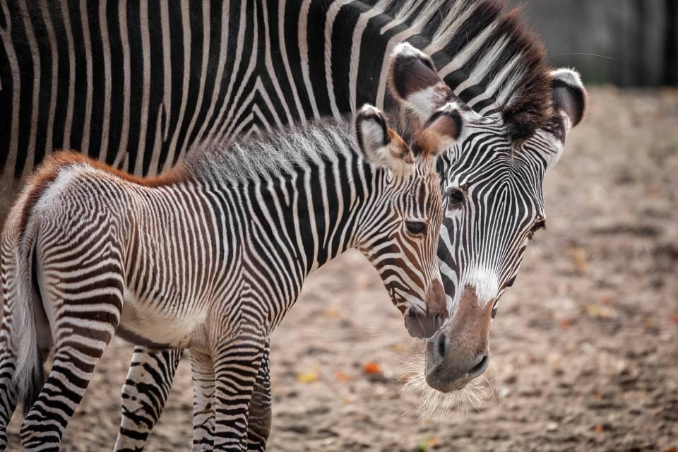 Zebra Tamu - ZOO Planckendael - Jonas Verhulst