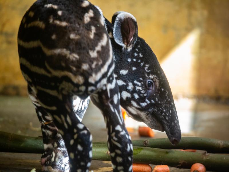 Welkom tapirbaby!