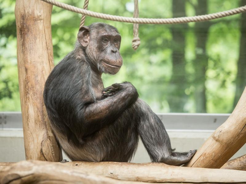 ZOO Antwerpen verwelkomt chimpansee Kitoto