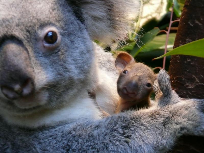 Naissance d'un adorable petit koala