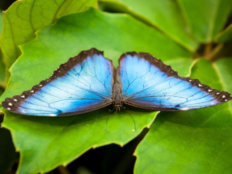 Au Jardin à papillons du ZOO d'Anvers, de magnifiques spécimens exotiques sont en pleine éclosion
