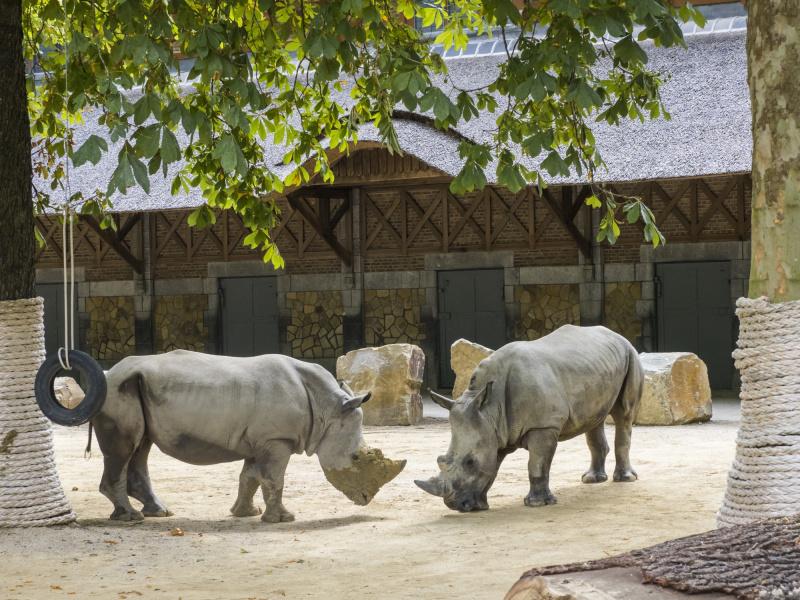 Le ZOO d'Anvers accueille deux rhinocéros blancs