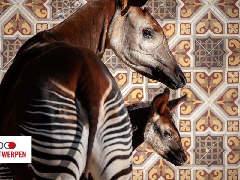 Naissance d'un bébé okapi au ZOO d'Anvers