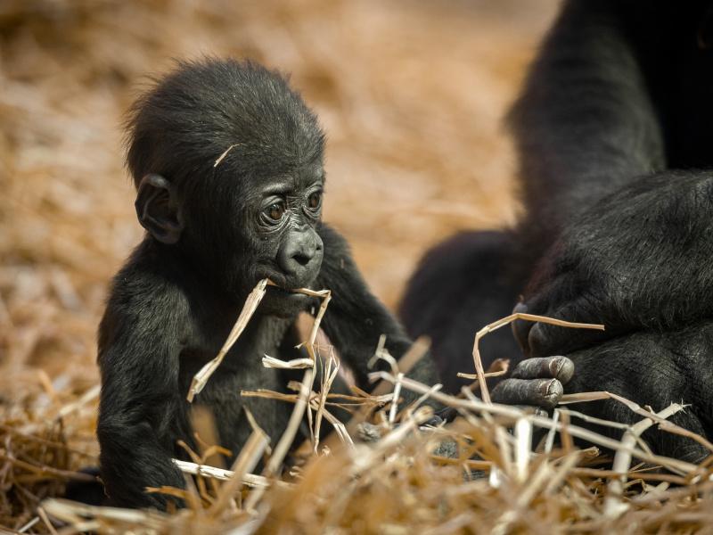 Le bébé gorille Thandie apprend à marcher à 4 pattes