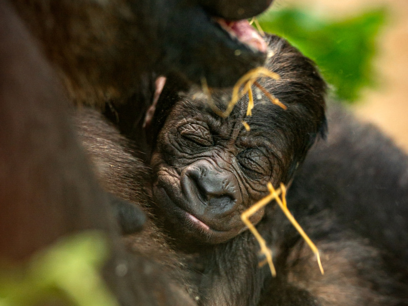 Meer dan 5.800 mensen kozen mee: ZO(O) heet de pasgeboren gorilla in ZOO Antwerpen