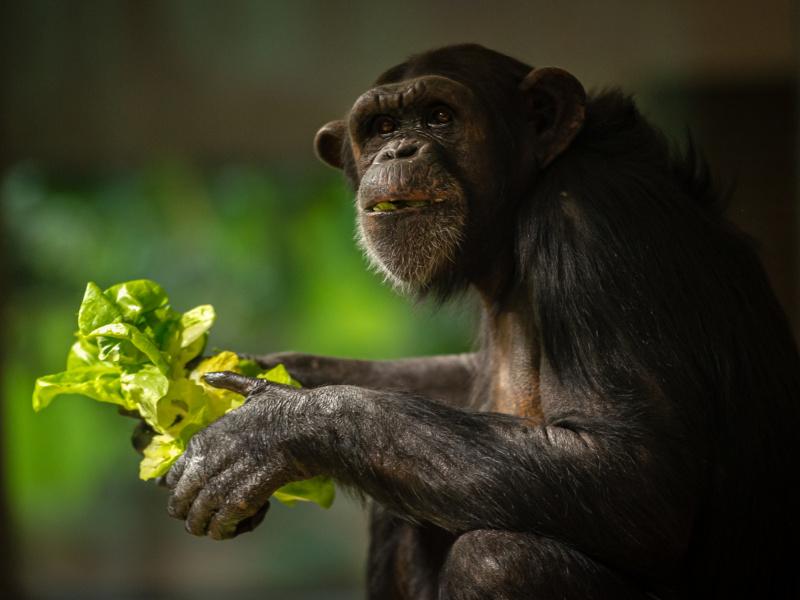 Le groupe de chimpanzés du ZOO d'Anvers s'enrichit de deux jeunes suédoises Mia et Marit