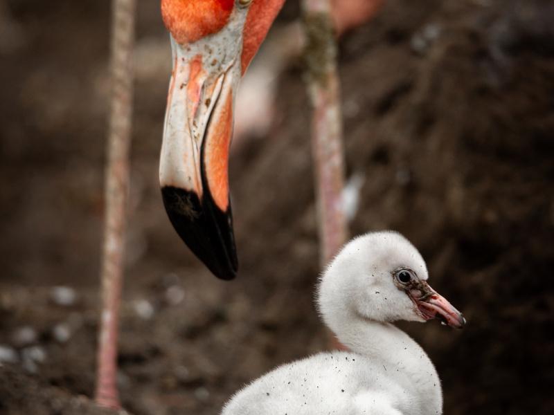 Twee flamingokuikens kruipen uit hun ei in ZOO Antwerpen