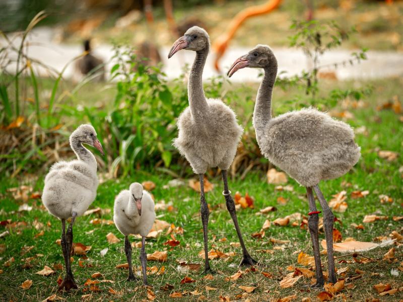 UNIEK: Recordaantal flamingokuikens in ZOO Antwerpen