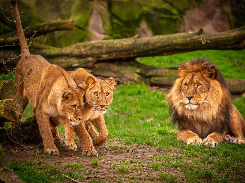 Double blind date pour le lion Nestor au ZOO d'Anvers