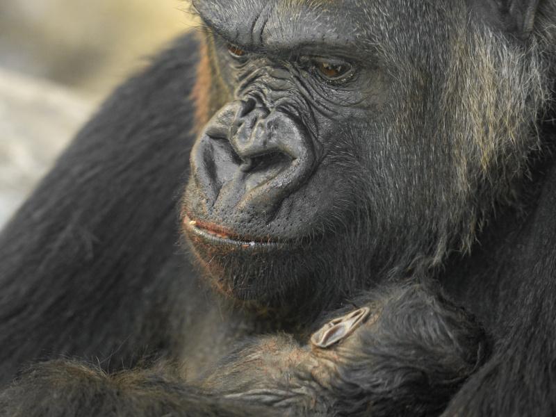 Naissance d'un bébé gorille dans la Vallée des grands singes du ZOO d'Anvers