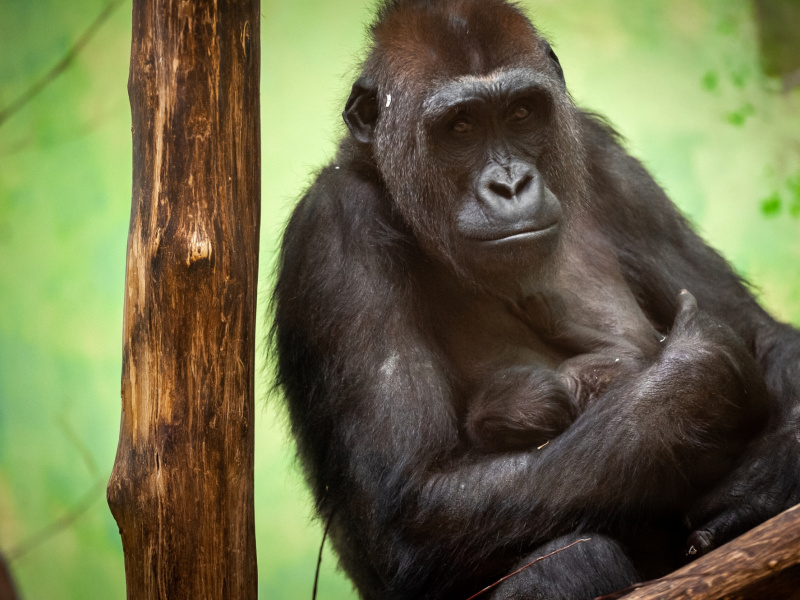 Notre bébé gorille est...