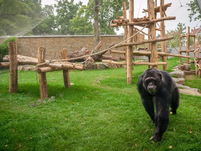 ZOO Antwerpen viert eerste World Chimpanzee Day met nieuw onderzoek over chimpansees